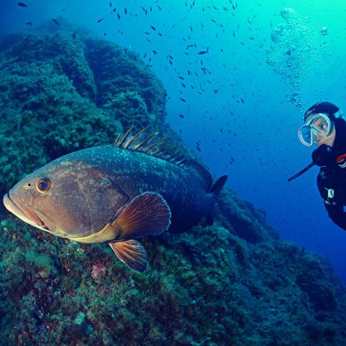 Plongeur-Mérou